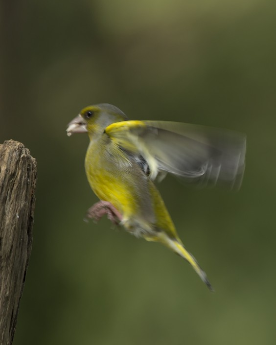 Greenfinch Sweden 2015
