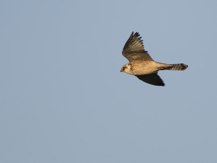 Red-footed falcon, Gotland 2015