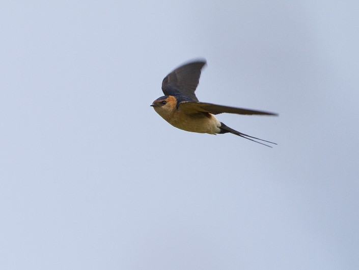 Red-rumped swallow Gotland 2014