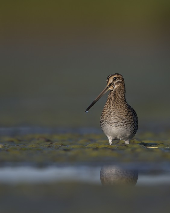 Common Snipe