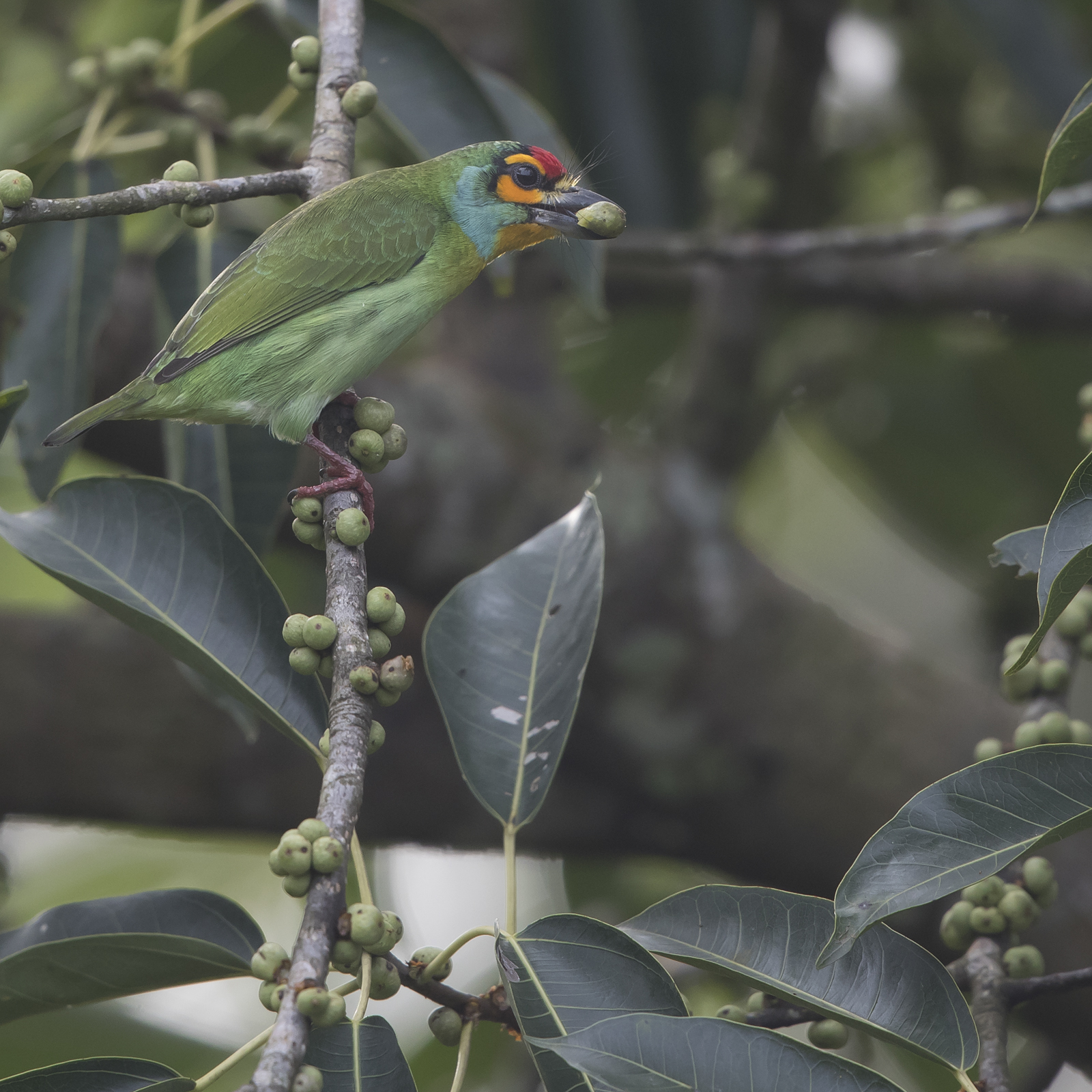 1600crimsonfronted-barbet1