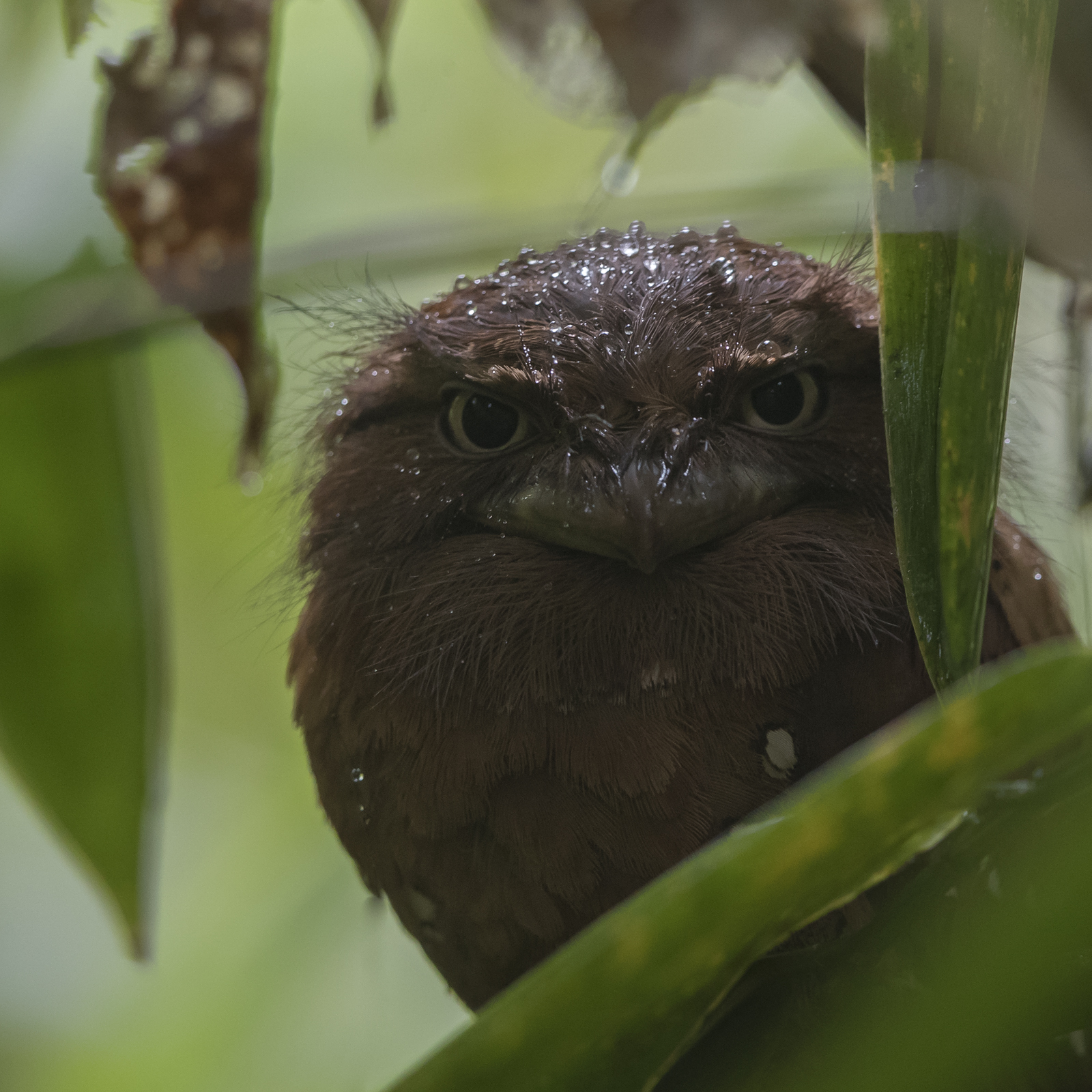 1600frogmouth1
