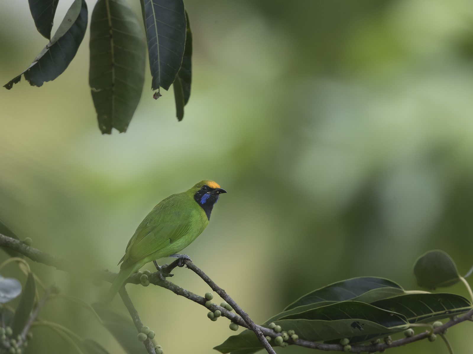 1600goldenfronted-leafbird1