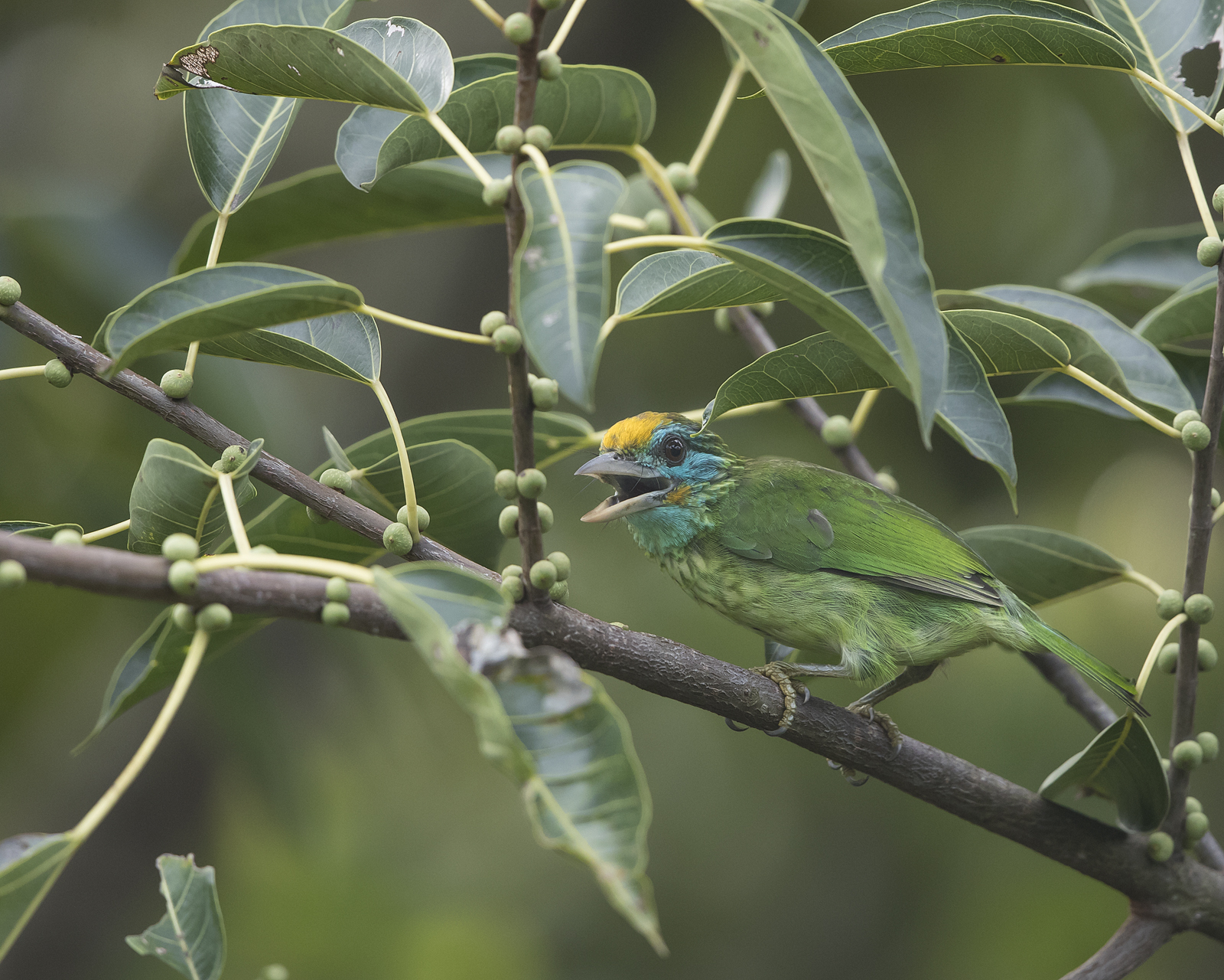 1600yellowfronted-barbet1