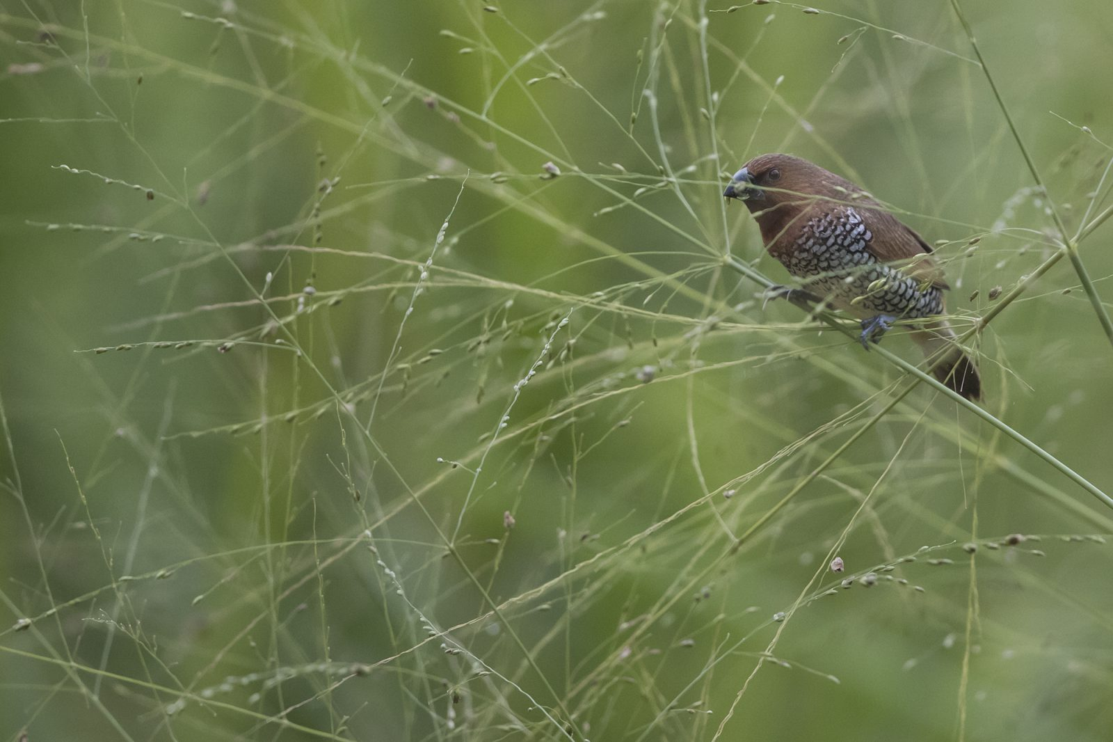 2000scaly-breasted-munia1