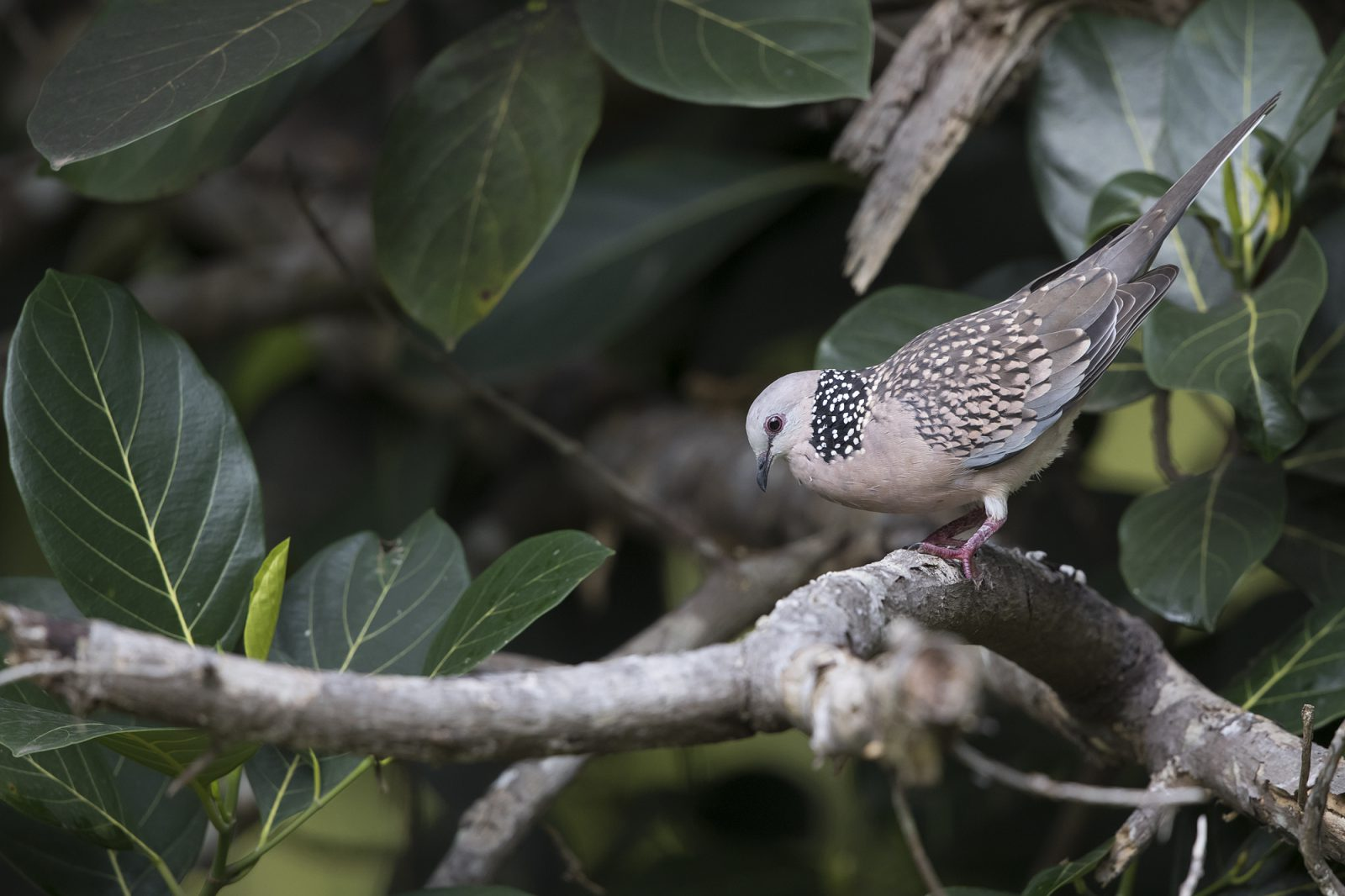 2000spotted-dove1