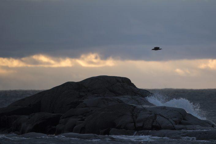 Havsörn