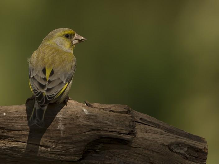 Greenfinch Sweden 2015