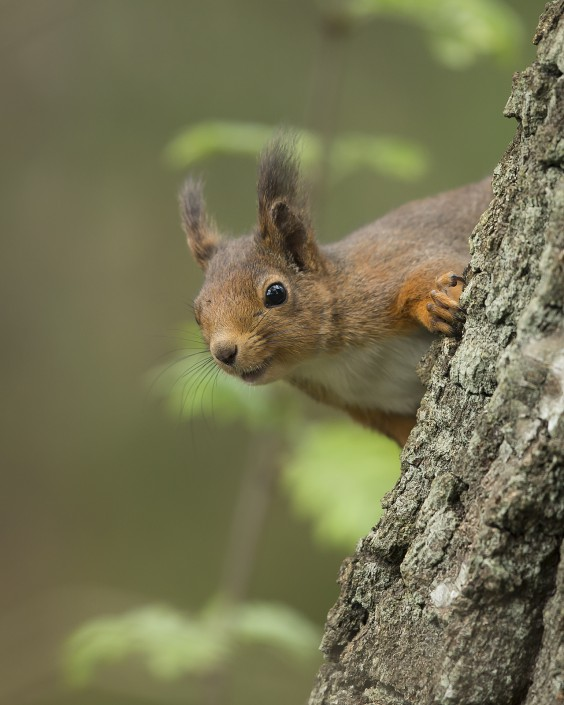 Red Squirrel Sweden 2015