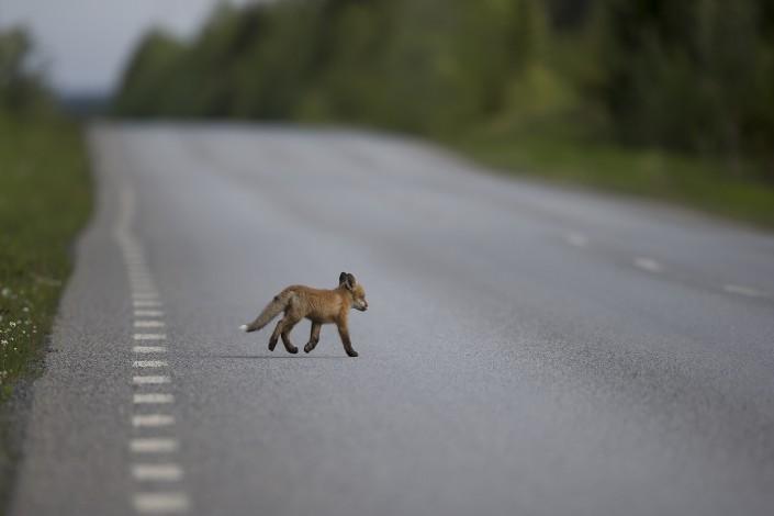 Rödräv - Vulpes vulpes