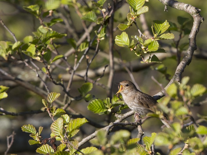 Nightingale Horsten 2015