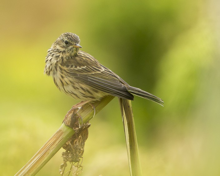Meadow pipit Iceland 2014