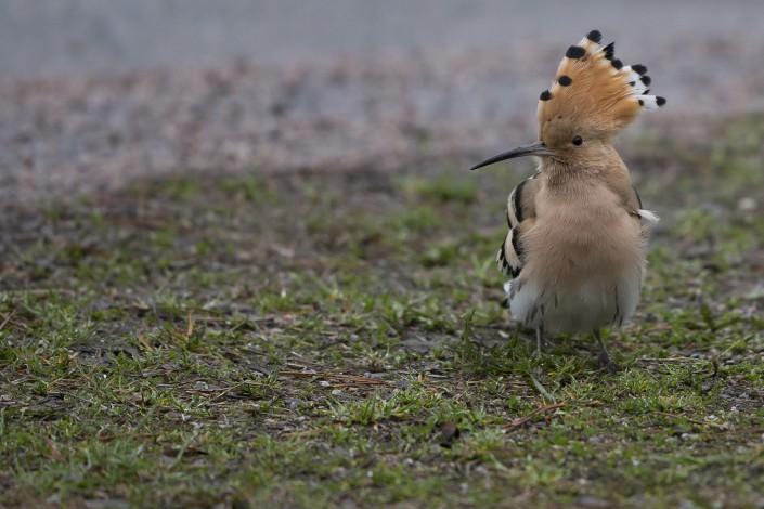 Härfågel