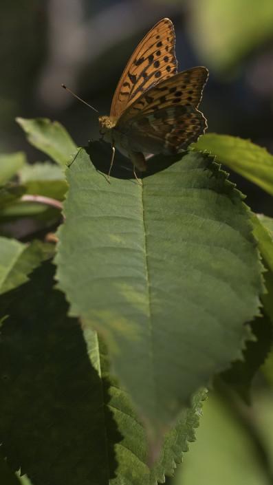 sIlverstreckad pärlemorfjäril