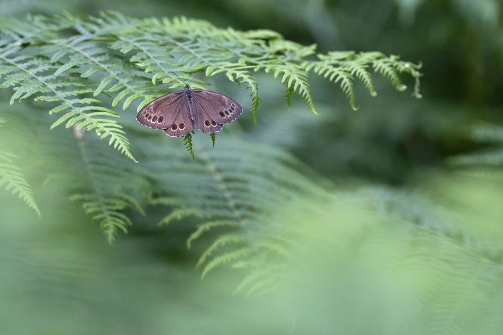 Dårgräsfjäril