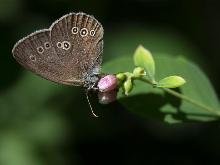 Luktgräsfjäril