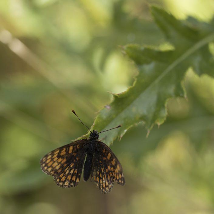 Skogsnätfjäril
