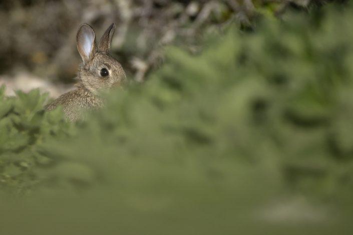 Kanin, Vildkanin