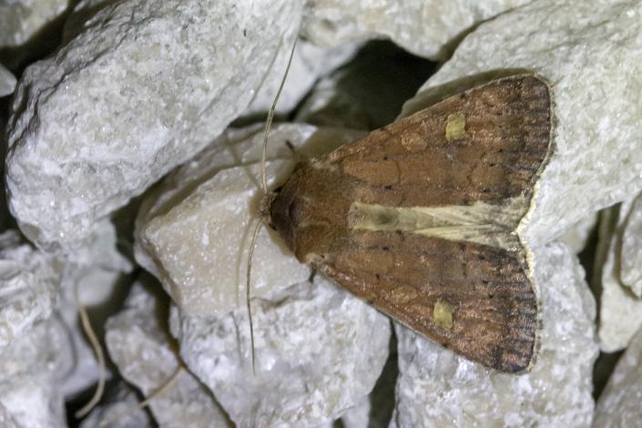 Gulfläckat jordfly