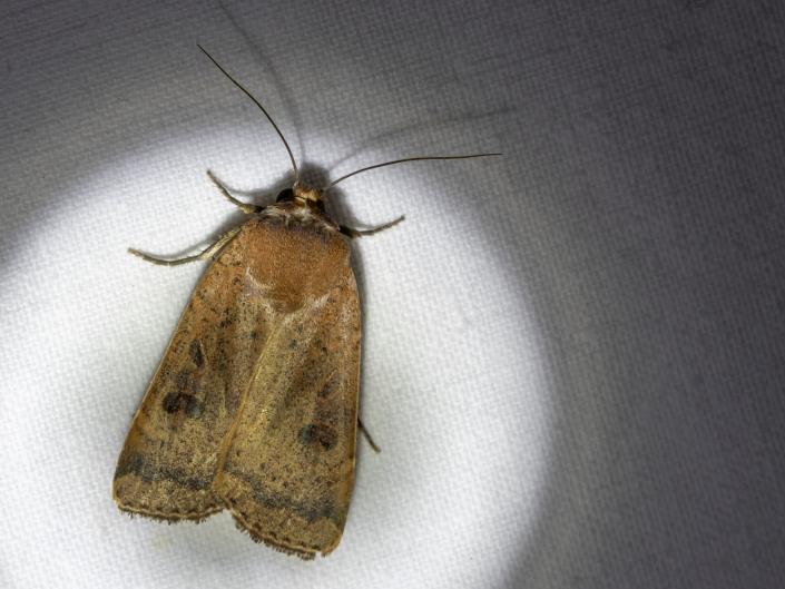 Leverbrunt bandfly