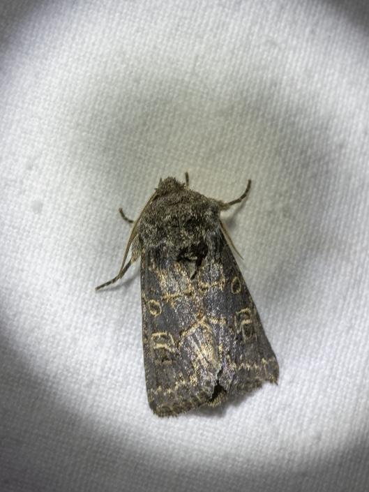 Mörkbrunt fältfly