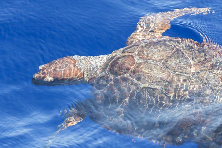 Oäkta karottsköldpadda