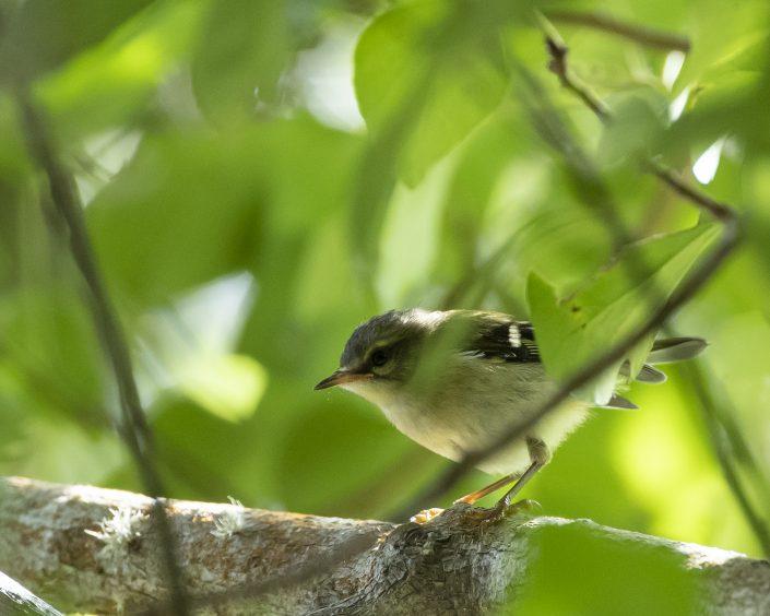 Madeirakungsfågel