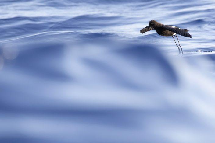 Havslöpare