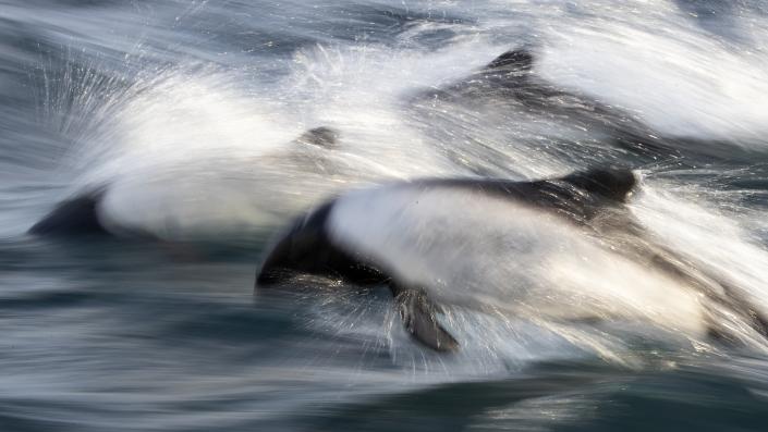 Commersons delfin