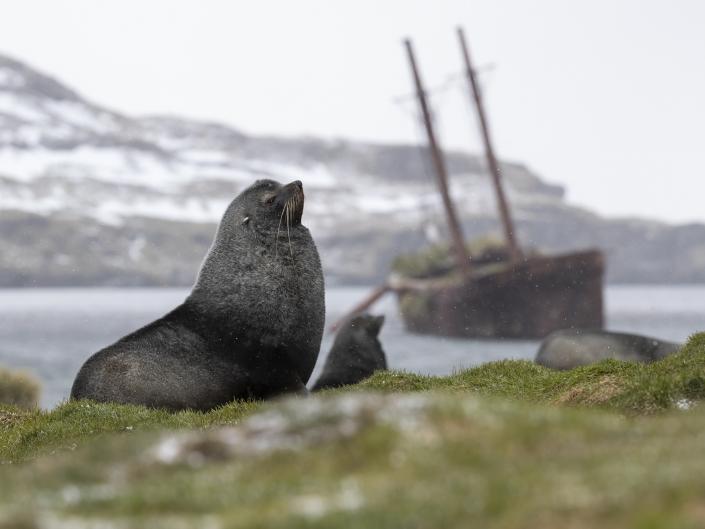 Antarktsik pälssäl