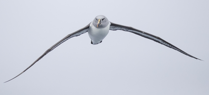Gråhuvad albatross