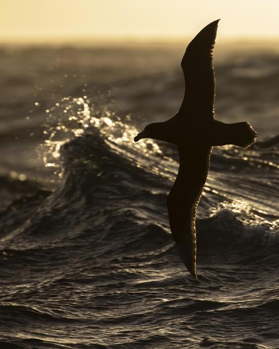 Jättestormfågel