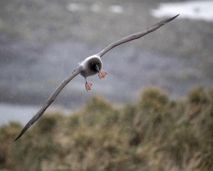 Ljusryggig albatross