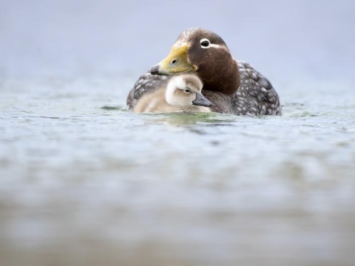 Falklandsångbåtsand