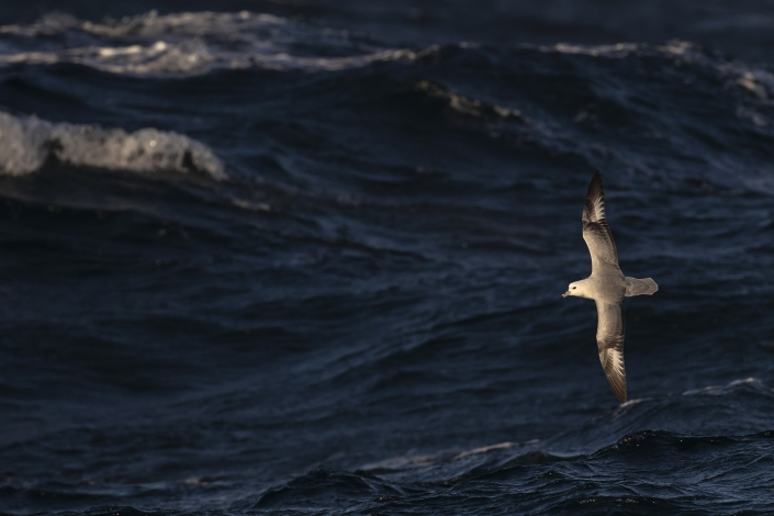 Sydstormfågel