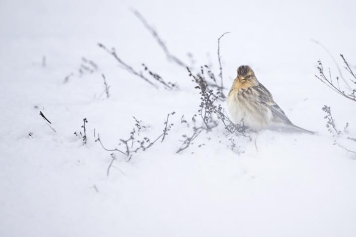 Vinterhämpling