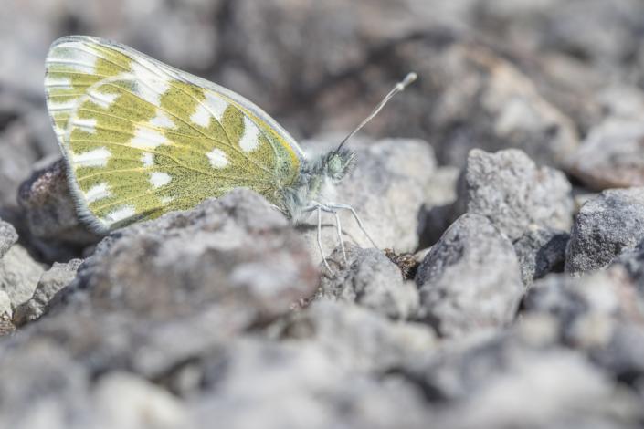 Grönfläckig vitfjäril